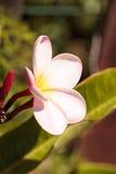 Της Χαβάης ρόδινο και άσπρο υβρίδιο plumeria Στοκ Εικόνες