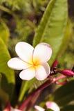 Της Χαβάης ρόδινο και άσπρο υβρίδιο plumeria Στοκ Φωτογραφίες