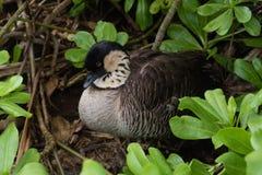 Της Χαβάης χήνα nene στο καταφύγιο άγριας πανίδας σημείου Kilauea Kauai, Χαβάη στοκ εικόνα με δικαίωμα ελεύθερης χρήσης