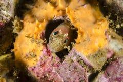 Της Χιλής μύδι blenny Στοκ εικόνα με δικαίωμα ελεύθερης χρήσης