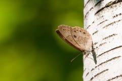 Της όξινης απορροής καφετιά πεταλούδα Στοκ Εικόνα
