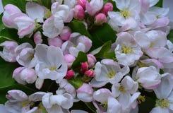 Της Apple η δασική λουλουδιών floral σύσταση ανθοδεσμών βοτανικής σχεδίων πορφυρή φωτεινή άσπρη αυξήθηκε ομορφιά άνθισης φύλλων θ στοκ φωτογραφία