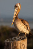 της Barbara ραμφών ο καφετής πελεκάνος πρωινού μαρινών φτερών Καλιφόρνιας κεντρικός παράκτιος πρώιμος εσκαρφάλωσε το santa αποβαθ Στοκ Εικόνες