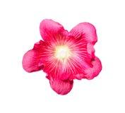 Της Holly γερακιών λουλούδια που απομονώνονται ζωηρόχρωμα στο λευκό Στοκ φωτογραφία με δικαίωμα ελεύθερης χρήσης