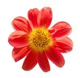 Της Mona lisa λουλουδιών λουλούδι άνοιξη λουλουδιών που απομονώνεται κόκκινο Στοκ Εικόνες