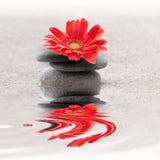 Της Zen λουλούδι gerbera κήπων whith κόκκινο Στοκ Φωτογραφία