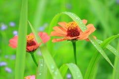Της Zinnia μακροεντολή Red Flower Leaf Nature κήπων Στοκ Φωτογραφία