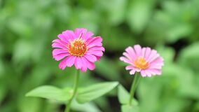 Της Zinnia Lilliput μήκος σε πόδηα Vibrant Colourful Flowers HD αποθεμάτων απόθεμα βίντεο