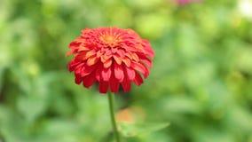 Της Zinnia Lilliput μήκος σε πόδηα Vibrant Garden Flower HD αποθεμάτων απόθεμα βίντεο