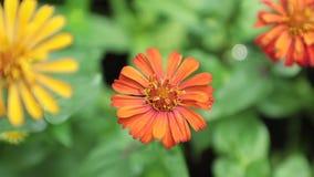 Της Zinnia Lilliput μήκος σε πόδηα Vibrant Garden Flowers HD αποθεμάτων απόθεμα βίντεο