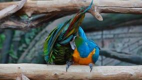 Τηλεοπτικοί ζωηρόχρωμοι δύο αστείοι παπαγάλοι Ara πουλιών απόθεμα βίντεο