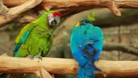 Τηλεοπτικοί ζωηρόχρωμοι δύο αστείοι παπαγάλοι Ara πουλιών φιλμ μικρού μήκους