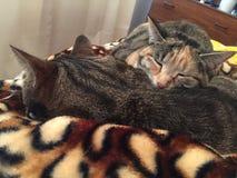 Τιγρέ αδελφός και αδελφή γατών Στοκ φωτογραφία με δικαίωμα ελεύθερης χρήσης