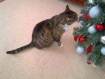 Τιγρέ γάτα και χριστουγεννιάτικο δέντρο Στοκ φωτογραφία με δικαίωμα ελεύθερης χρήσης