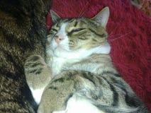 Τιγρέ γάτα με τα σημάδια λεοπαρδάλεων στοκ εικόνες