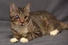Τιγρέ γάτα με τους καταρράκτες στο μάτι στοκ φωτογραφία