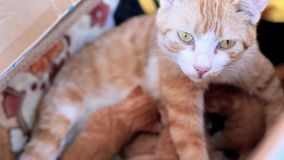 Τιγρέ γάτα μητέρων που κοιτάζει alertly ταΐζοντας τη γάτα μωρών της στη φωλιά γατών, κινηματογράφος 4k, σε αργή κίνηση απόθεμα βίντεο