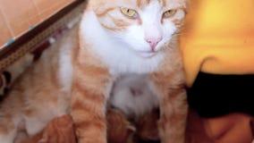 Τιγρέ γάτα μητέρων που κοιτάζει alertly ταΐζοντας τη γάτα μωρών της στη φωλιά γατών, κινηματογράφος 4k, σε αργή κίνηση φιλμ μικρού μήκους