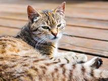 Τιγρέ γάτα που βρίσκεται, προσέχοντας, φωτεινά χρώματα Στοκ φωτογραφία με δικαίωμα ελεύθερης χρήσης