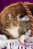 Τιγρέ γάτα που βρίσκεται σε ένα καλάθι με το άσπρο πέπλο Πορφυρή ανασκόπηση Στοκ φωτογραφίες με δικαίωμα ελεύθερης χρήσης