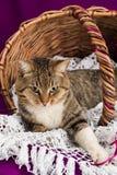 Τιγρέ γάτα που βρίσκεται σε ένα καλάθι με το άσπρο πέπλο Πορφυρή ανασκόπηση Στοκ Εικόνες