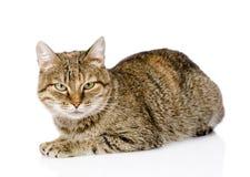 Τιγρέ γάτα που βρίσκεται σε μπροστινό και που εξετάζει τη κάμερα απομονωμένος Στοκ Φωτογραφίες