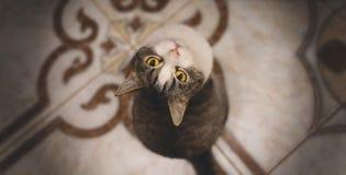 Τιγρέ γάτα που εξετάζει τη φωτογραφική μηχανή Στοκ εικόνα με δικαίωμα ελεύθερης χρήσης