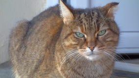 Τιγρέ γάτα που εξετάζει τη φωτογραφική μηχανή απόθεμα βίντεο