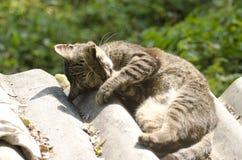 Τιγρέ γάτα που εξετάζει τη φωτογραφική μηχανή Στοκ Εικόνα