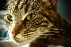 Τιγρέ γάτα που εξετάζει τη φωτογραφική μηχανή στοκ φωτογραφίες με δικαίωμα ελεύθερης χρήσης