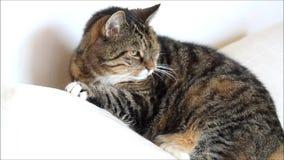 Τιγρέ γάτα που στηρίζεται στο μαξιλάρι φιλμ μικρού μήκους