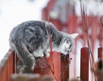 τιγρέ γάτα που χαϊδεύεται σε έναν κλάδο την άνοιξη σε έναν φράκτη στοκ εικόνα