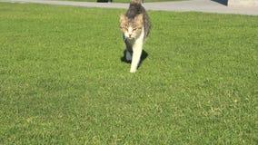 Τιγρέ γάτα στην πράσινη χλόη φιλμ μικρού μήκους