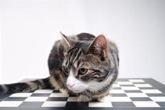 Τιγρέ γάτα στον πίνακα σκακιού Στοκ Εικόνα