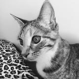 Τιγρέ γατάκι ταρταρουγών Στοκ εικόνα με δικαίωμα ελεύθερης χρήσης
