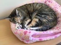 Τιγρέ γατάκι ταρταρουγών στοκ φωτογραφία με δικαίωμα ελεύθερης χρήσης