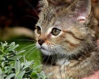 Τιγρέ γατάκι Στοκ φωτογραφίες με δικαίωμα ελεύθερης χρήσης