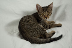 Τιγρέ γατάκι Στοκ εικόνα με δικαίωμα ελεύθερης χρήσης