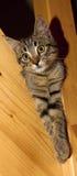 Τιγρέ γατάκι Στοκ Φωτογραφίες