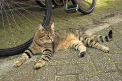Τιγρέ κόκκινη γάτα που βάζει κοντά σε ένα ποδήλατο στην οδό του Άμστερνταμ στοκ εικόνα