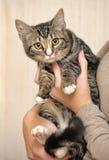 Τιγρέ νέα γάτα Στοκ Φωτογραφία