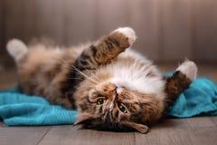 Τιγρέ να βρεθεί γατών Στοκ φωτογραφία με δικαίωμα ελεύθερης χρήσης