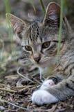 Τιγρέ πορτρέτο γατακιών Στοκ Φωτογραφίες
