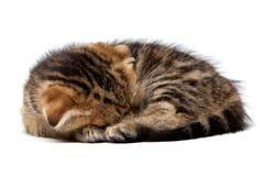 Τιγρέ σκωτσέζικοι ύπνοι γατακιών με μια σφαίρα των νημάτων Στοκ φωτογραφία με δικαίωμα ελεύθερης χρήσης