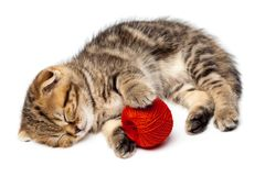 Τιγρέ σκωτσέζικοι ύπνοι γατακιών με μια σφαίρα των νημάτων Στοκ Φωτογραφία