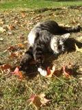 Τιγρέ τέντωμα γατών με τα φύλλα φθινοπώρου Στοκ εικόνα με δικαίωμα ελεύθερης χρήσης