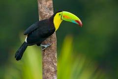 τιμολογημένη καρίνα toucan Στοκ φωτογραφίες με δικαίωμα ελεύθερης χρήσης