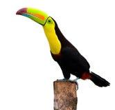 τιμολογημένη καρίνα toucan Στοκ εικόνα με δικαίωμα ελεύθερης χρήσης