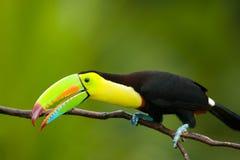 τιμολογημένη καρίνα toucan Στοκ φωτογραφία με δικαίωμα ελεύθερης χρήσης