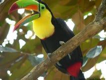 τιμολογημένη καρίνα toucan Στοκ Εικόνα